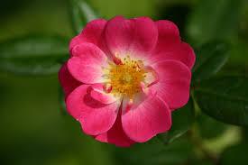 luce-flower