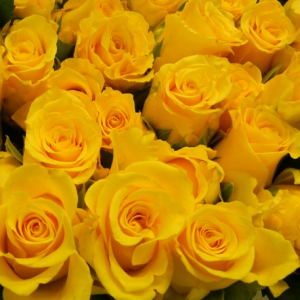 yellow-roses-sq